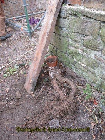 ein Rest Wurzel muss noch ausgegraben werden